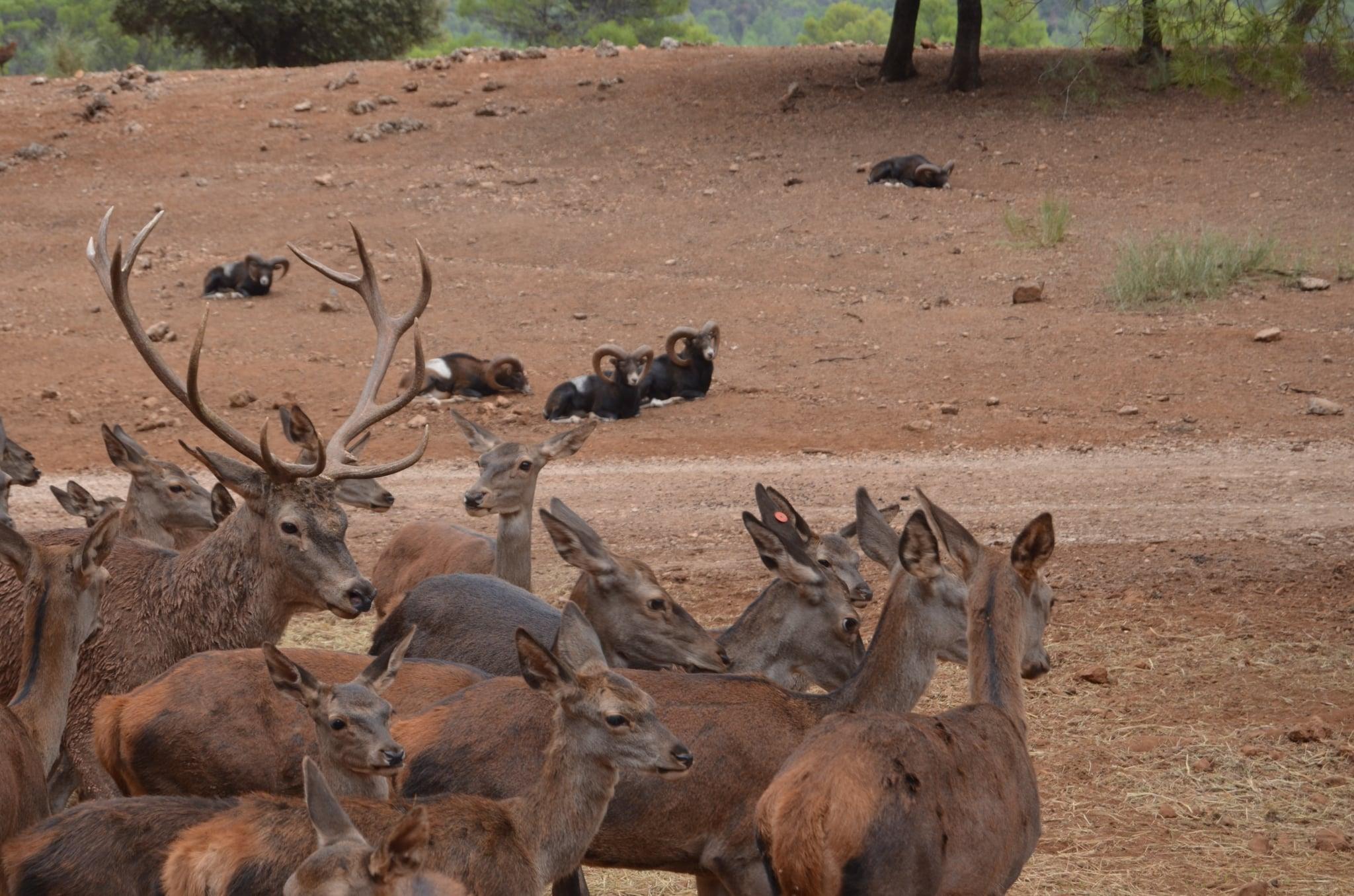 iervos, gamos, muflones, cabra montés.